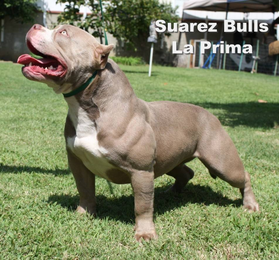 american bully short and wide