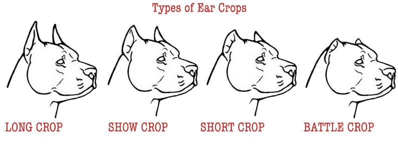 pitbull ear cropping styles
